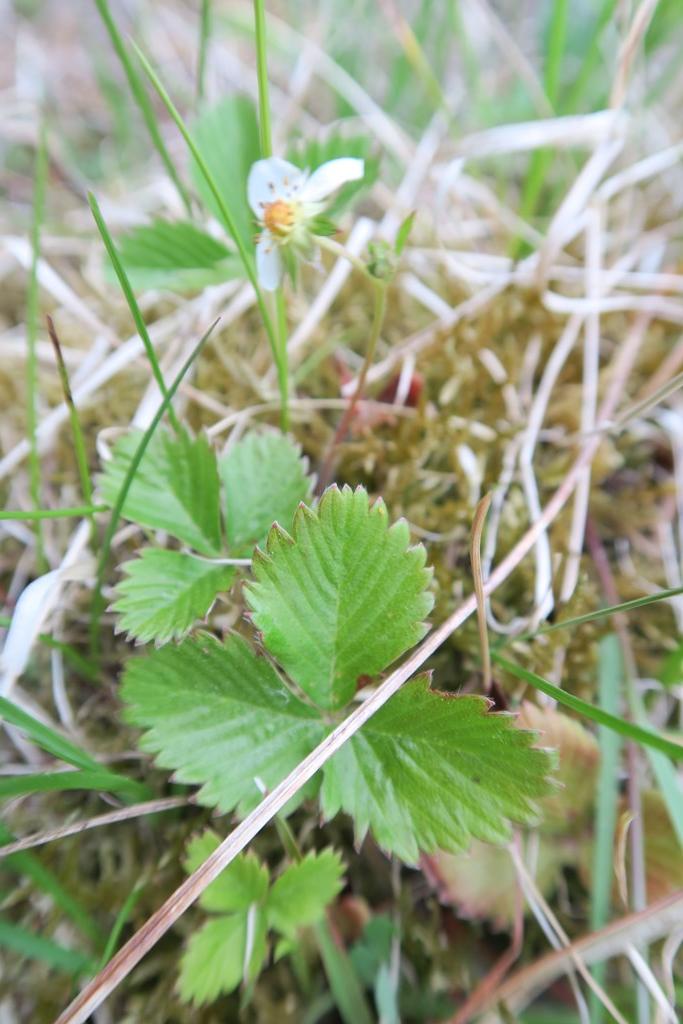 Fragaria vesca x viridis