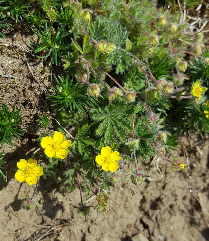 Foto/billede af Mat Potentil (Potentilla heptaphylla)