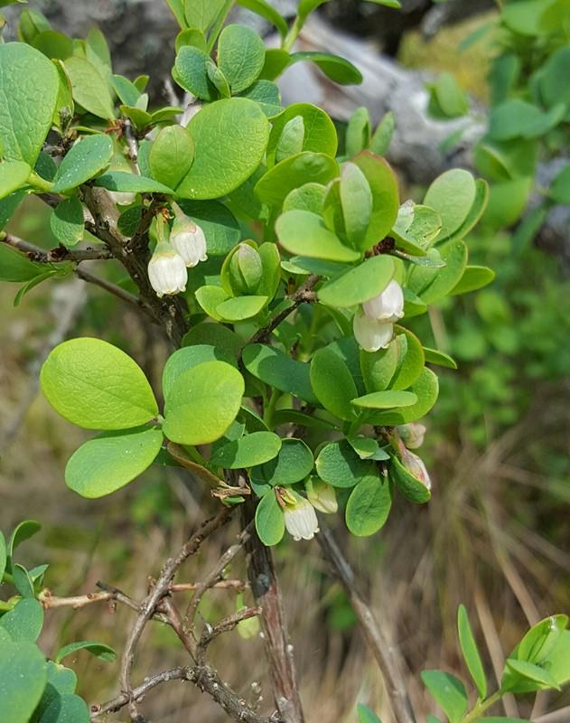 Foto/billede af Mose-bølle (Vaccinium uliginosum)