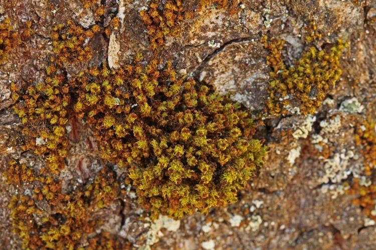 Stor Låddenhætte (Ulota phyllantha)
