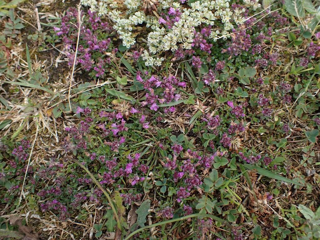 Smalbladet Timian (Thymus serpyllum)