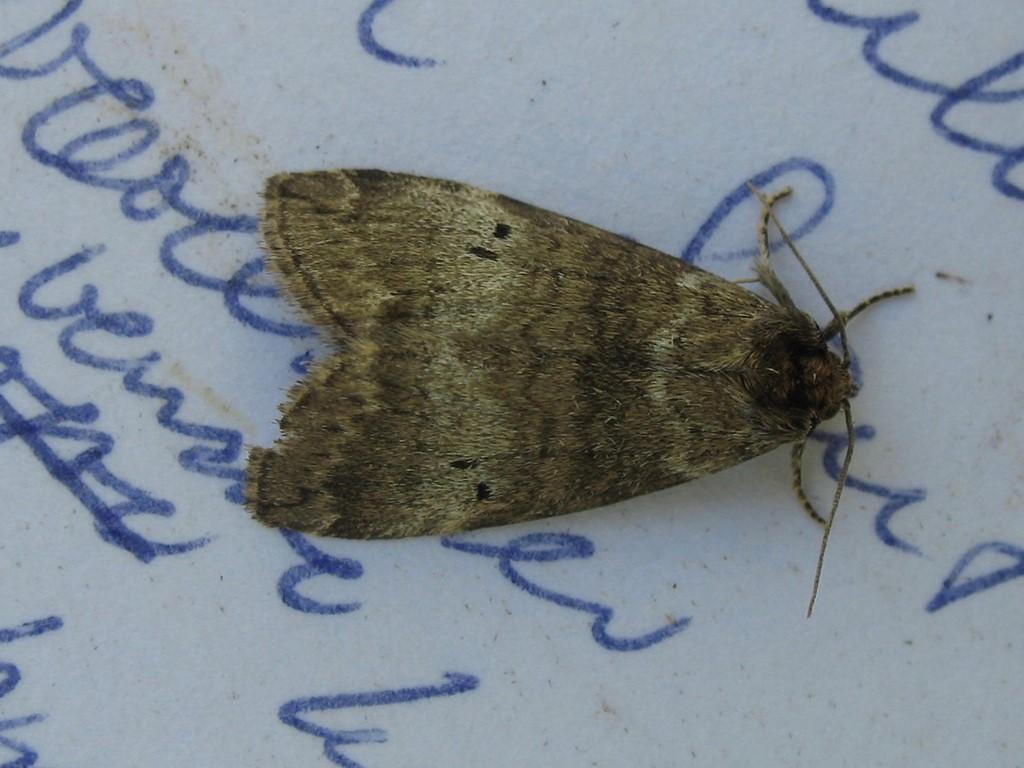 Foto/billede af Kolon-Uglespinder (Ochropacha duplaris)