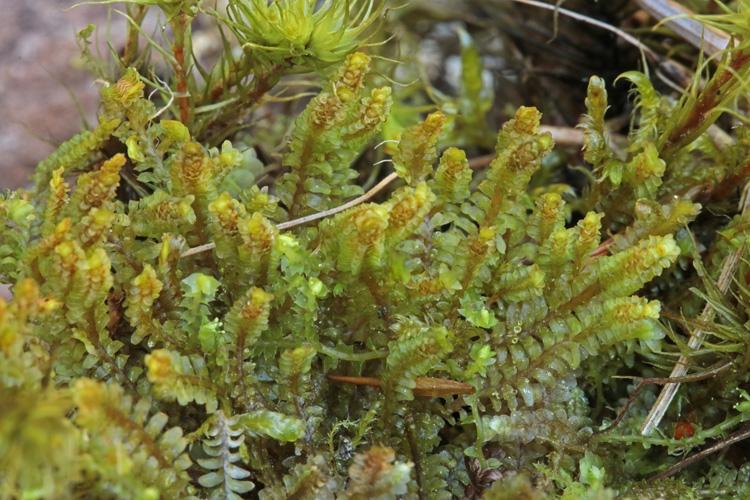 Foto/billede af Stribet Dobbeltblad (Diplophyllum albicans)