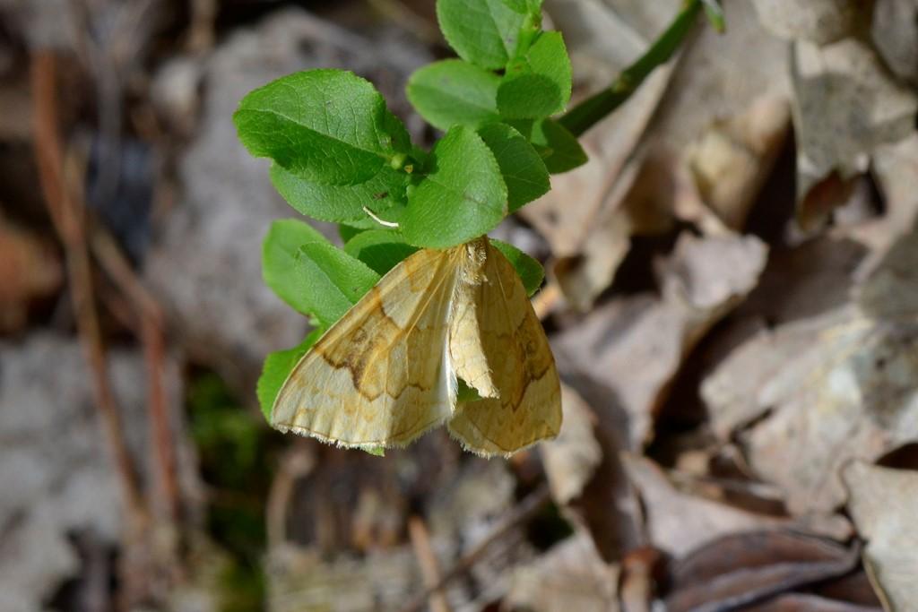 Foto/billede af Blåbær-Havemåler (Eulithis populata)