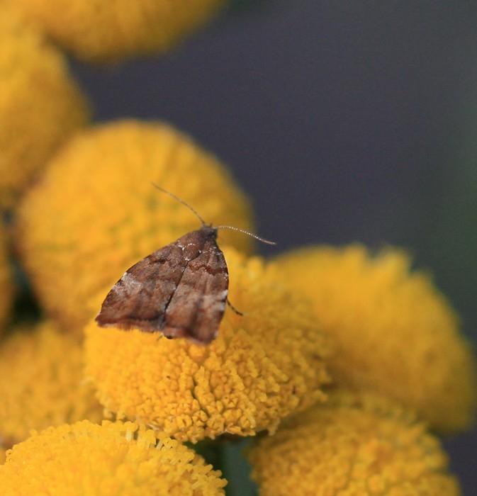 Foto/billede af Choreutis pariana (Choreutis pariana)