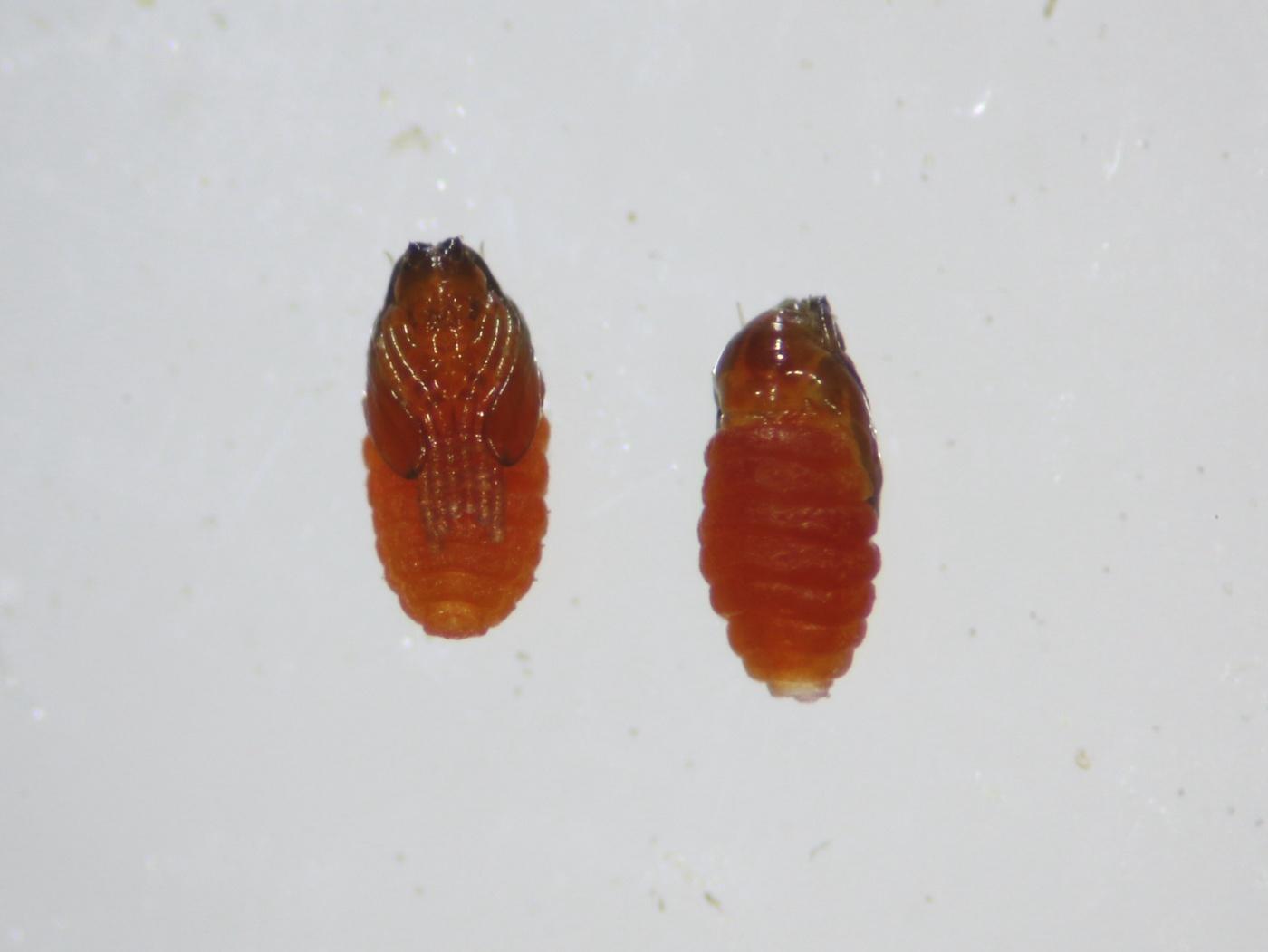 Contarinia acetosellae