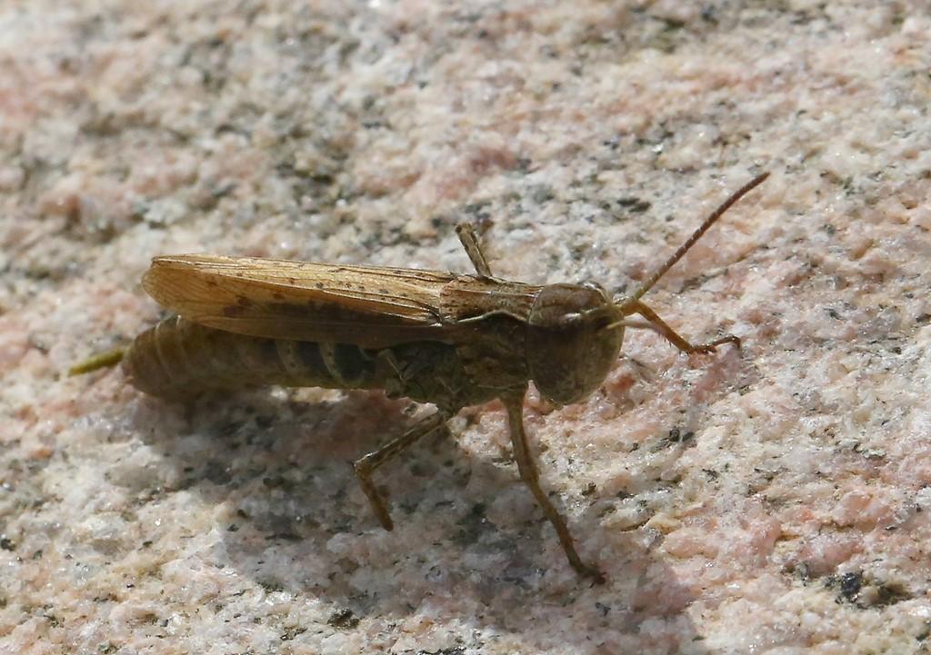 Foto/billede af Solgræshoppe (Chorthippus apricarius)