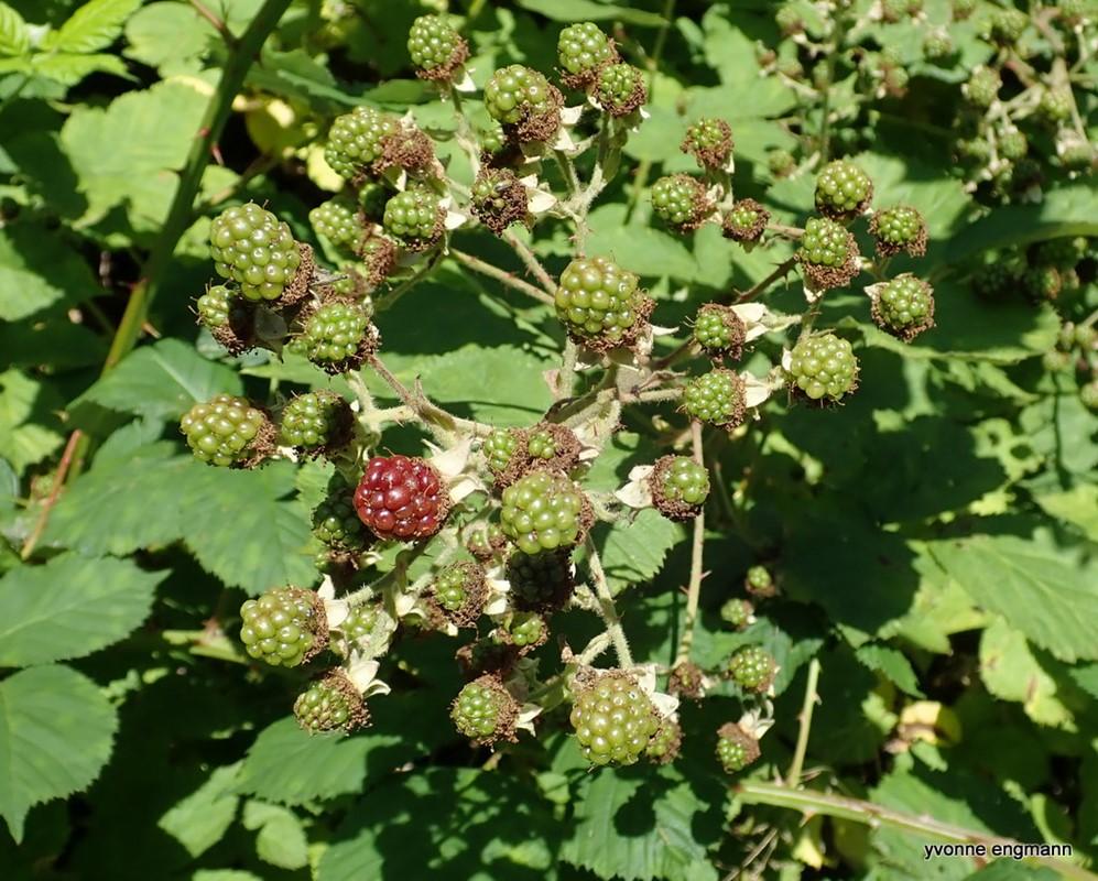 Brombær/Hasselbrombær ubest. (Rubus sect. Rubus/Corylifolii)