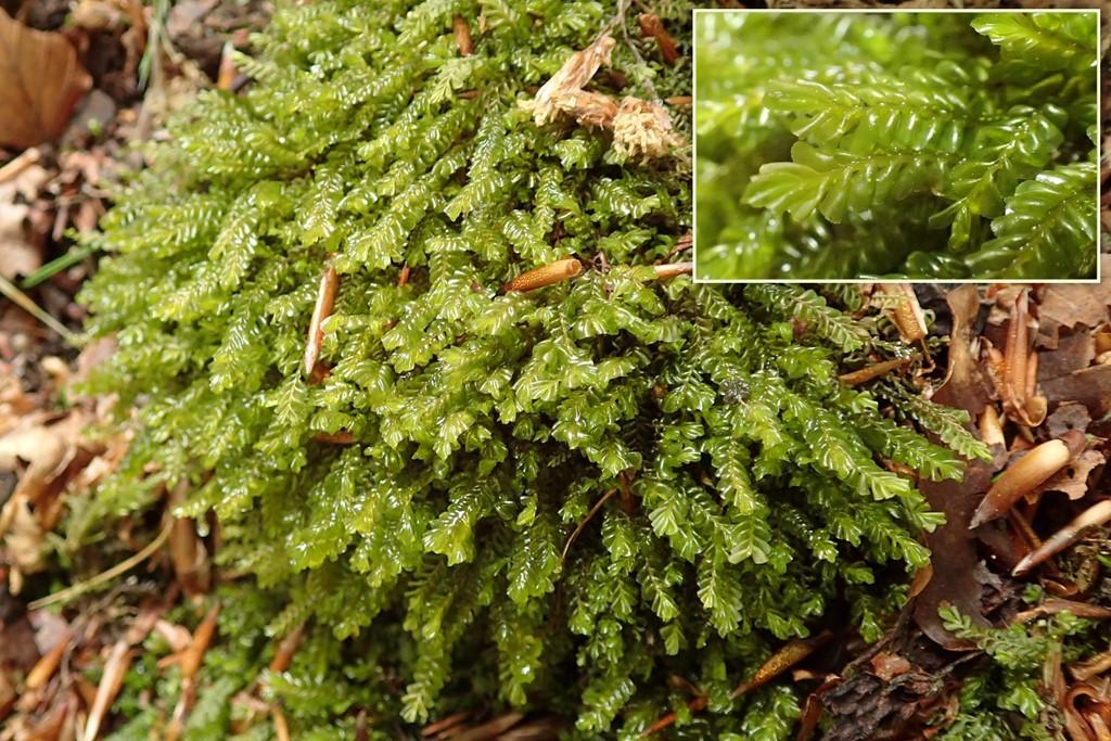 Foto/billede af Radeløv-Hindeblad (Plagiochila asplenioides ssp. asplenioides)