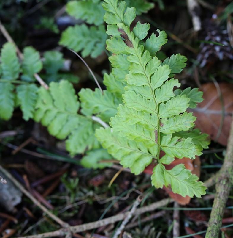 Foto/billede af Smalbladet Mangeløv (Dryopteris carthusiana)