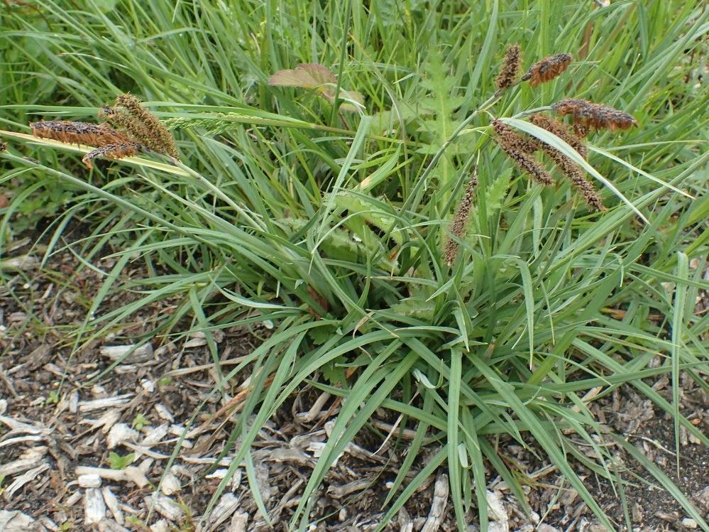 Blågrøn Star (Carex flacca)
