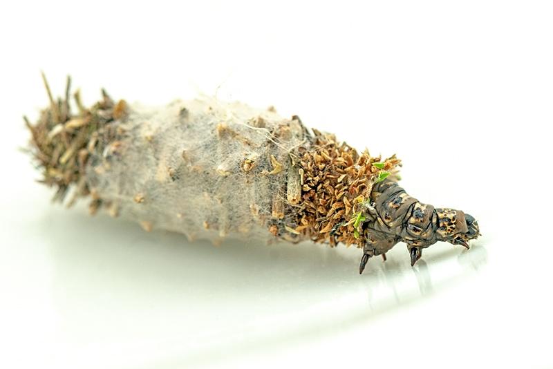 Foto/billede af Tværsat Græsstråsæk (Phalacropterix graslinella)