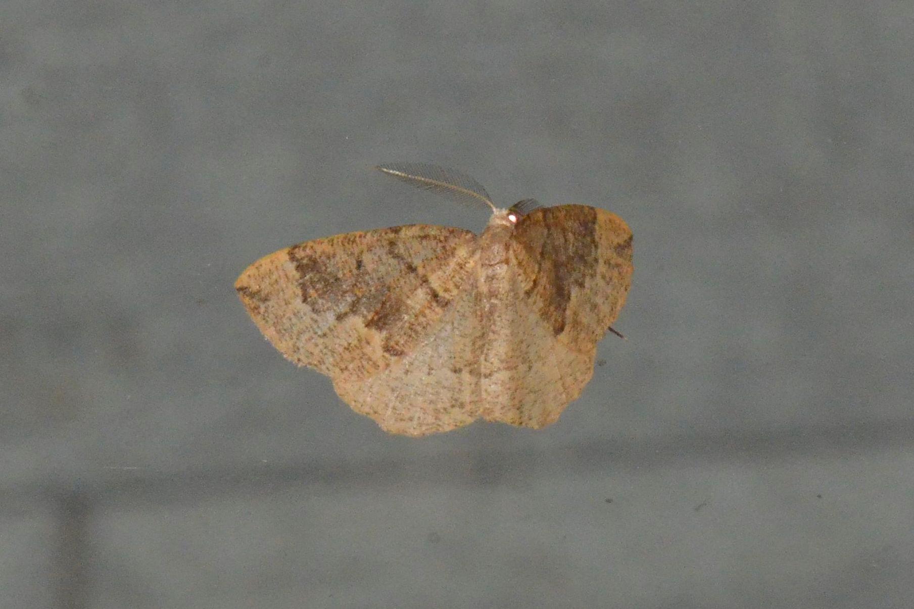 Foto/billede af Ædelgran-Måler (Pungeleria capreolaria)