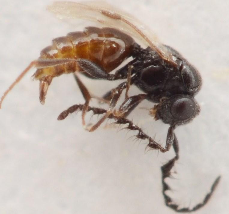 Dendrocerus sp. (Dendrocerus sp.)