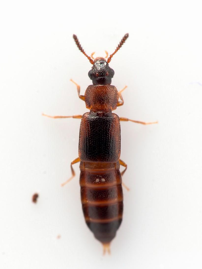 Phyllodrepa ioptera