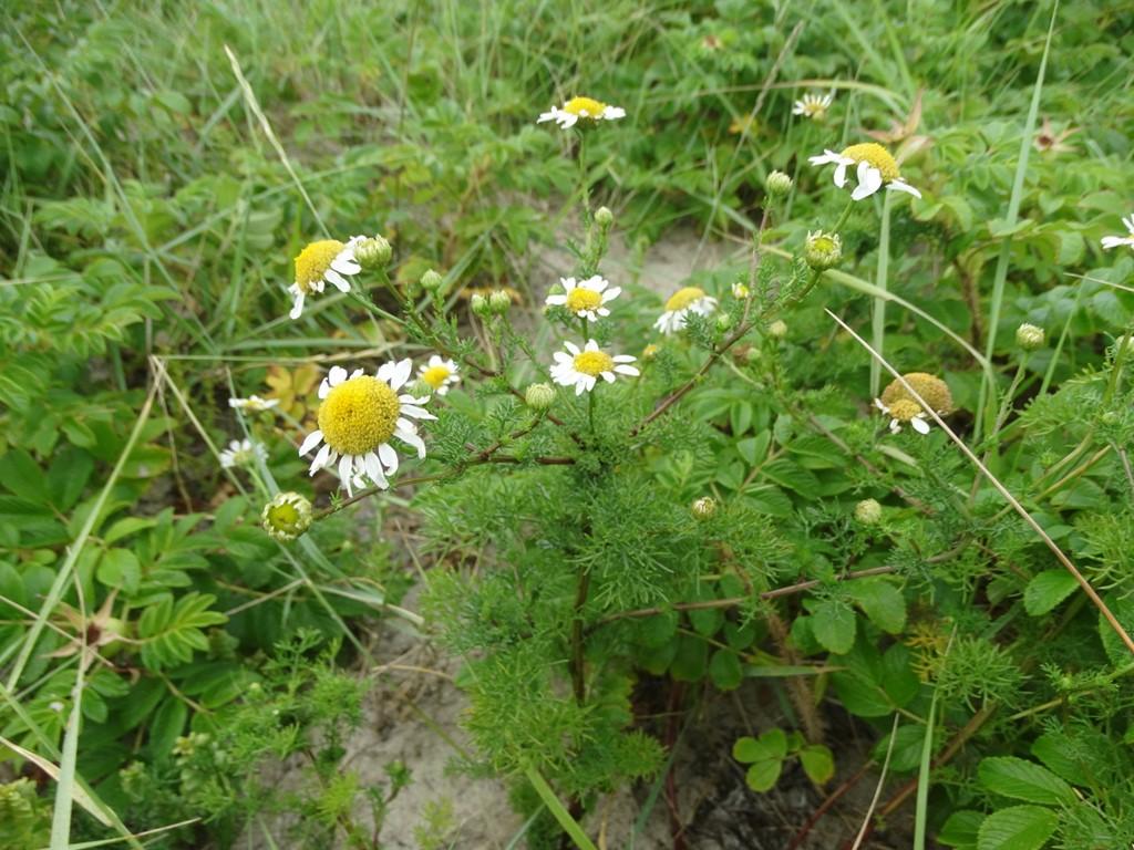 Foto/billede af Strand-Kamille (Tripleurospermum maritimum)