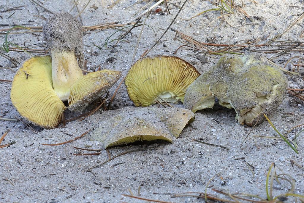Ægte Ridderhat (Tricholoma equestre)