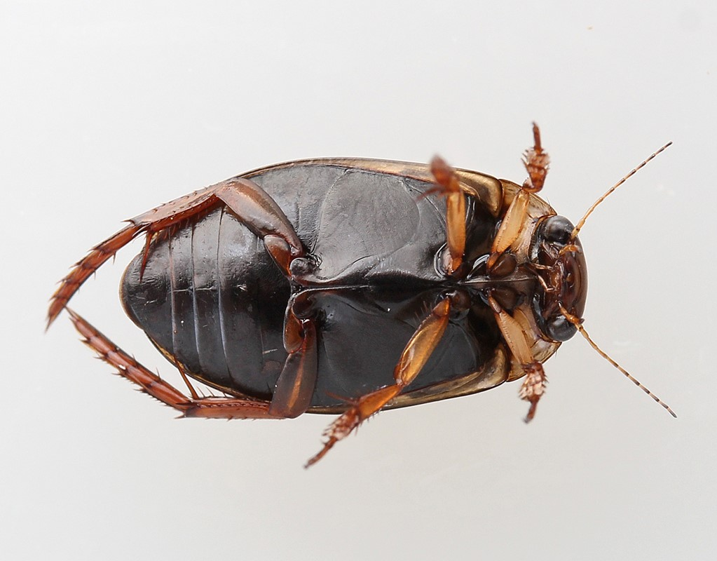 Rhantus suturellus (Rhantus suturellus)