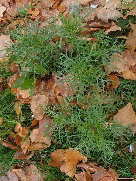 Foto/billede af Flerfarvet Okseøje (Chrysanthemum carinatum)