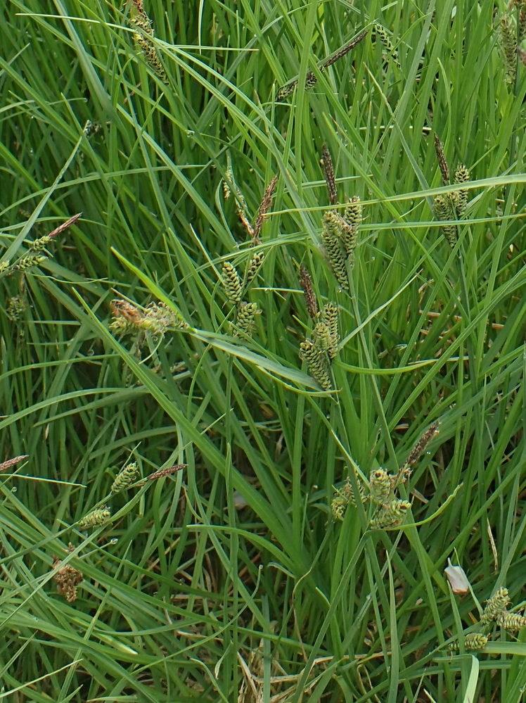 Almindelig Star (Carex nigra var. nigra)