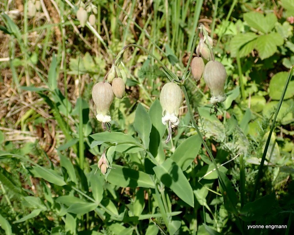 Blæresmælde (Silene vulgaris)
