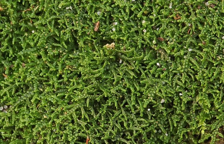 Foto/billede af Krybende Fingermos (Lepidozia reptans)
