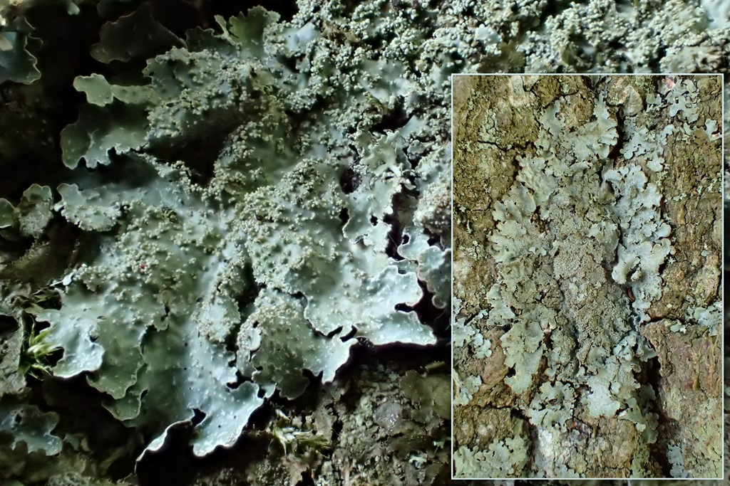 Foto/billede af Farve-Skållav (Parmelia saxatilis)