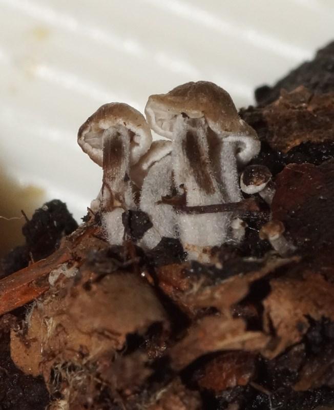 Foto/billede af Grå Snyltehat (Asterophora parasitica)