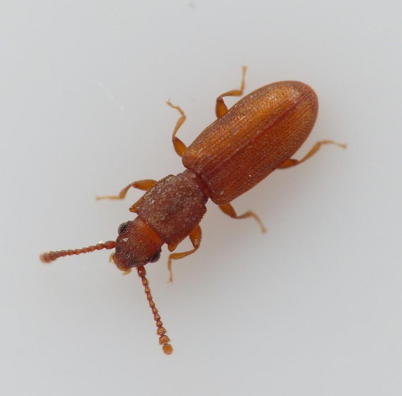 Foto/billede af Silvanus recticollis (Silvanus recticollis)
