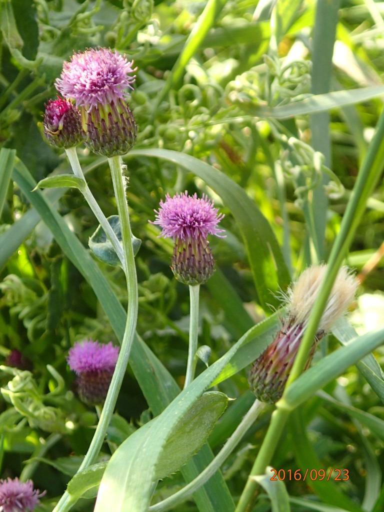 Foto/billede af Ager-tidsel (Cirsium arvense)
