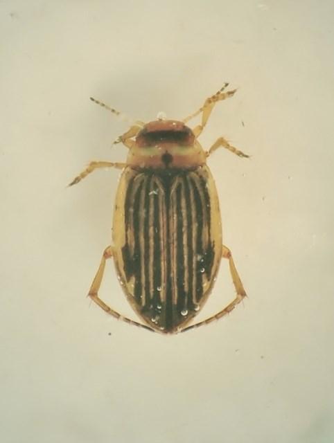 Hygrotus novemlineatus (Hygrotus novemlineatus)