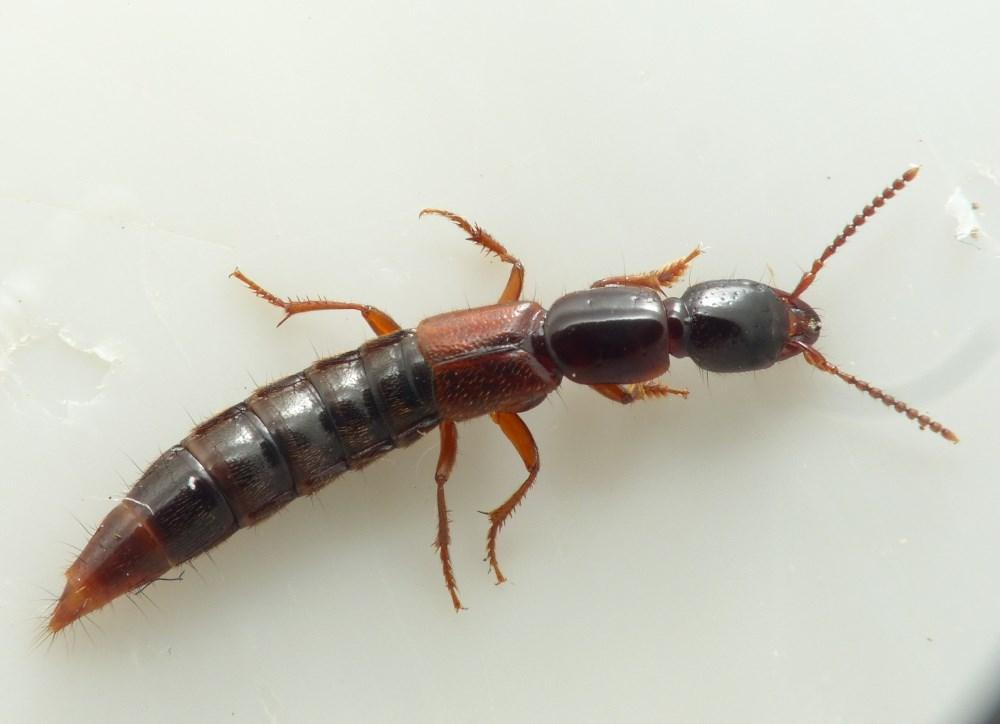 Foto/billede af Othius punctulatus (Othius punctulatus)