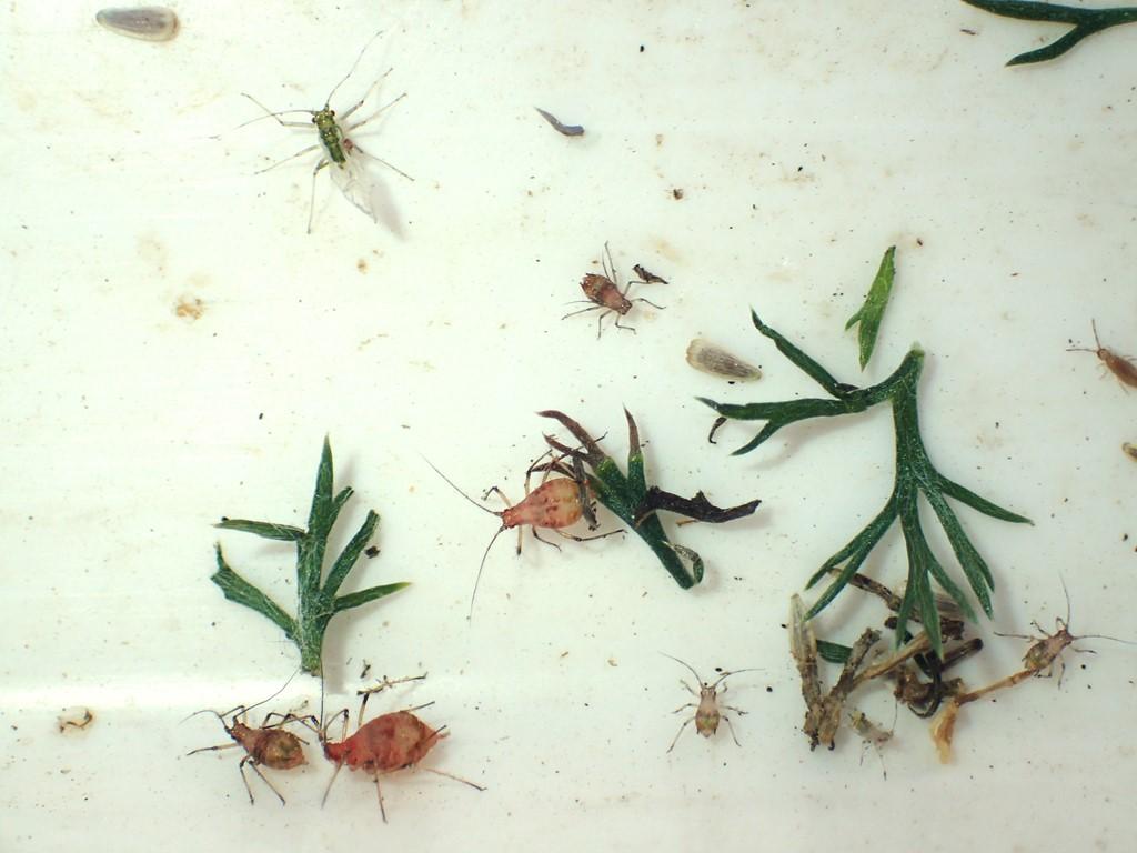 Macrosiphoniella sejuncta