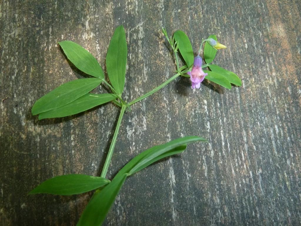 Foto/billede af Krat-Fladbælg (Lathyrus linifolius)