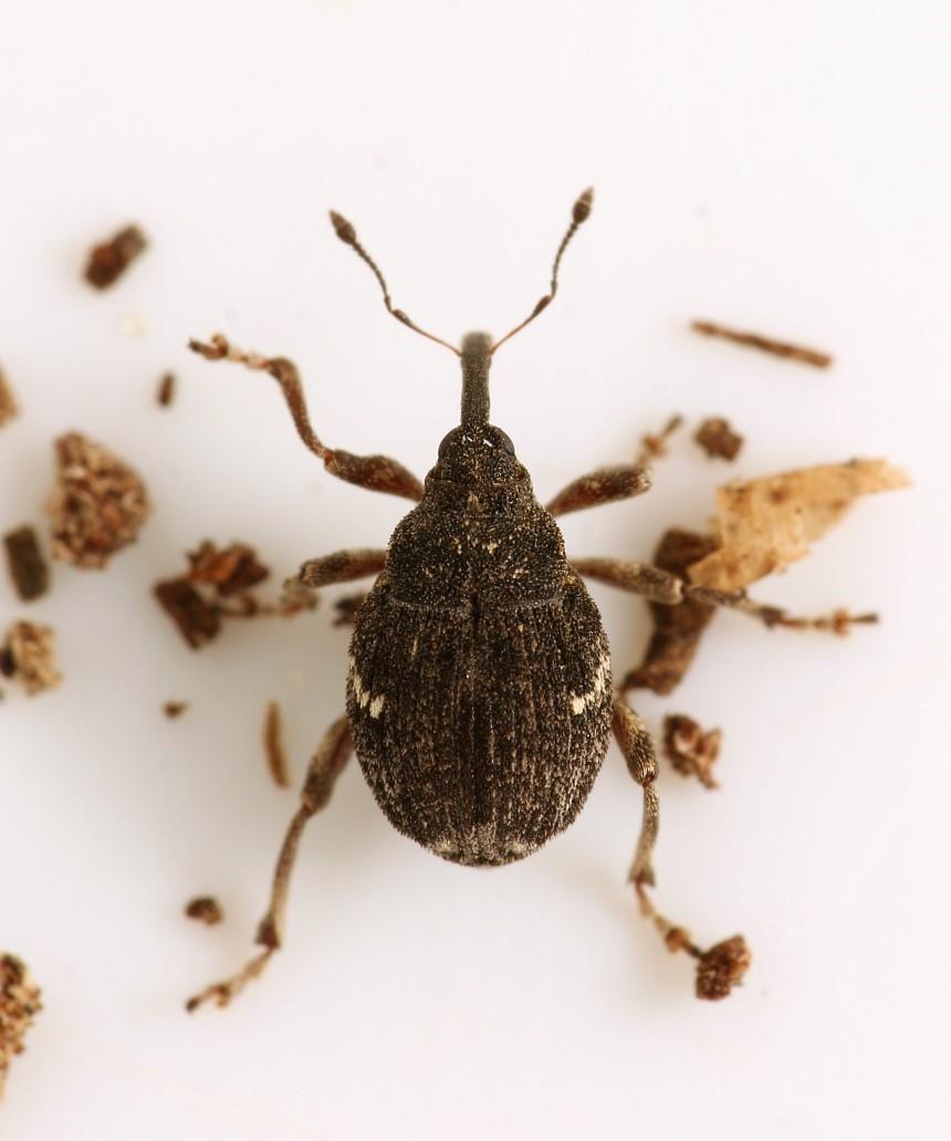 Thamiocolus viduatus
