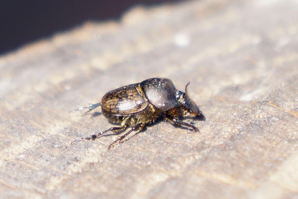 Foto/billede af Stumphornet Møggraver (Onthophagus fracticornis)