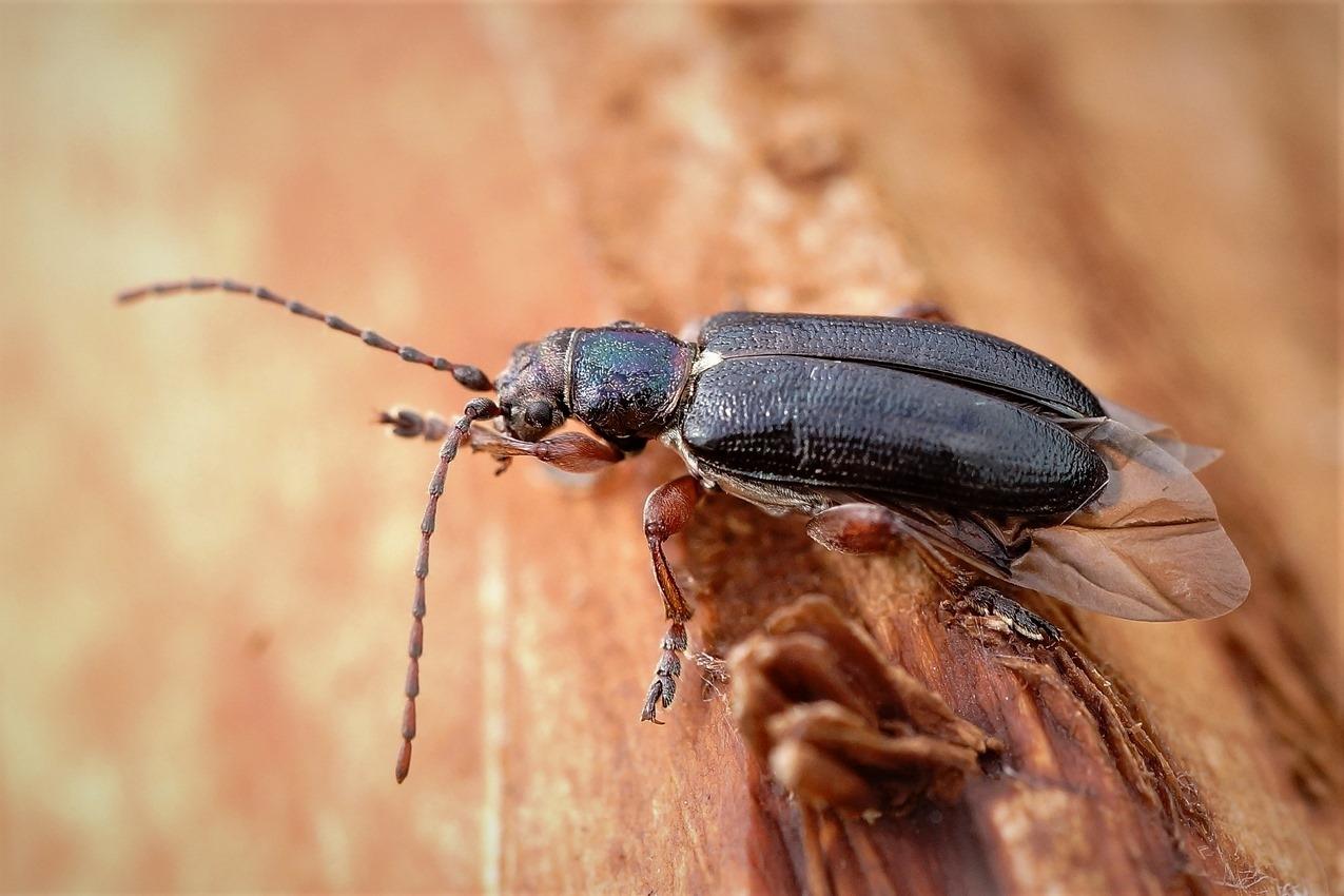 Plateumaris rustica (Plateumaris rustica)