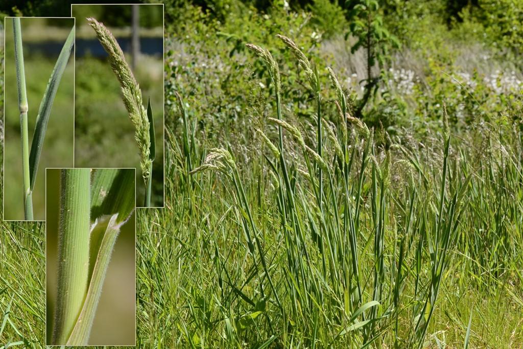 Foto/billede af Fløjlsgræs (Holcus lanatus)