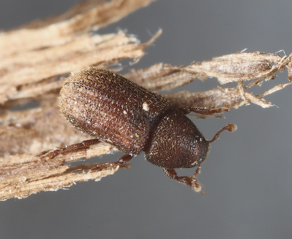 Hylastinus obscurus
