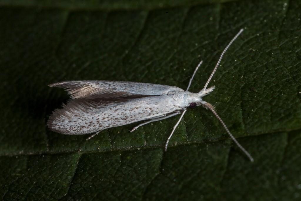 Foto/billede af Pistolsækmøl (Coleophora anatipennella)