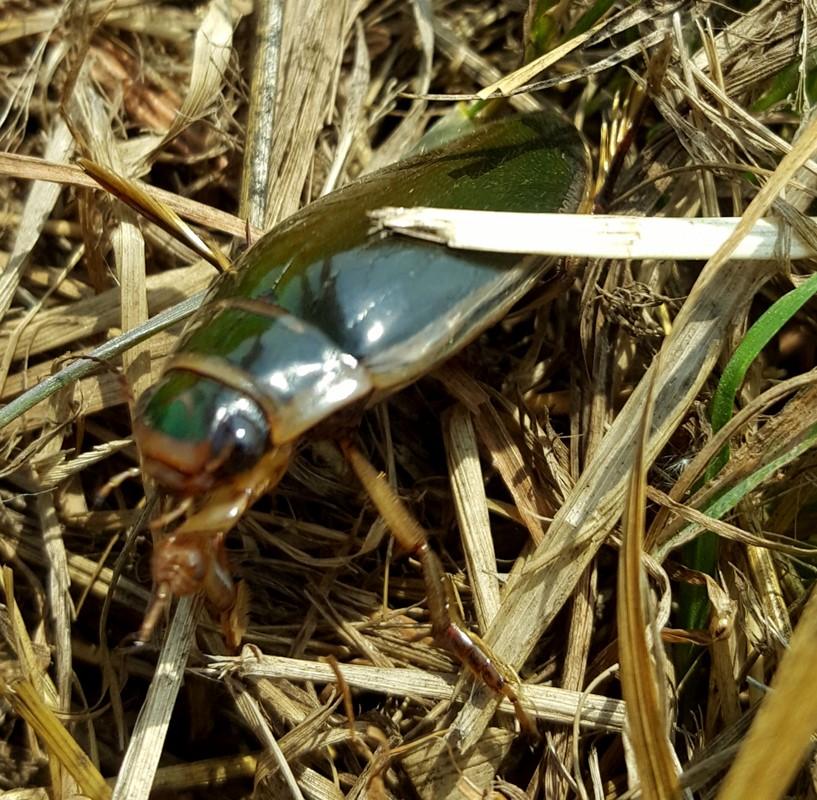 Hvepsebuget Vandkalv (Dytiscus circumflexus)