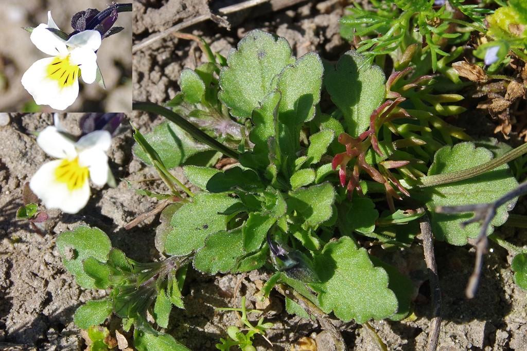 Foto/billede af Ager-Stedmoderblomst (Viola arvensis)