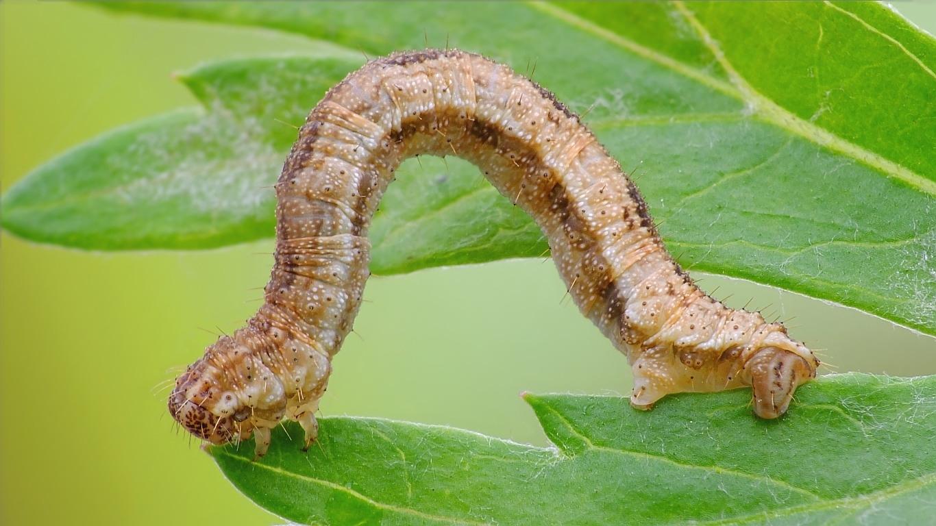 Foto/billede af Eupithecia icterata / Eupithecia succenturiata (Eupithecia icterata / Eupithecia succenturiata)