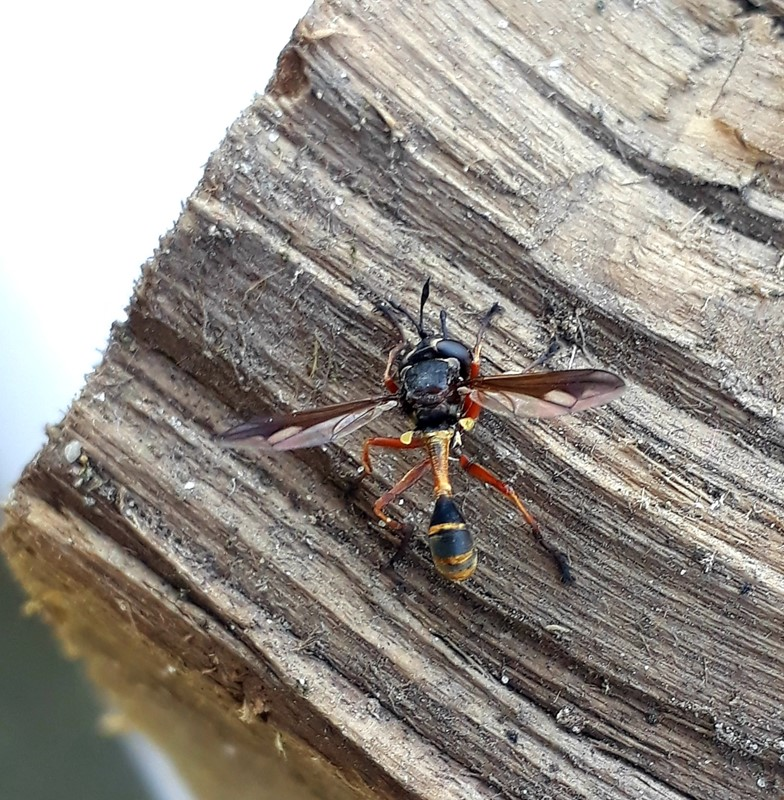 Foto/billede af Physocephala sp. (Physocephala sp.)