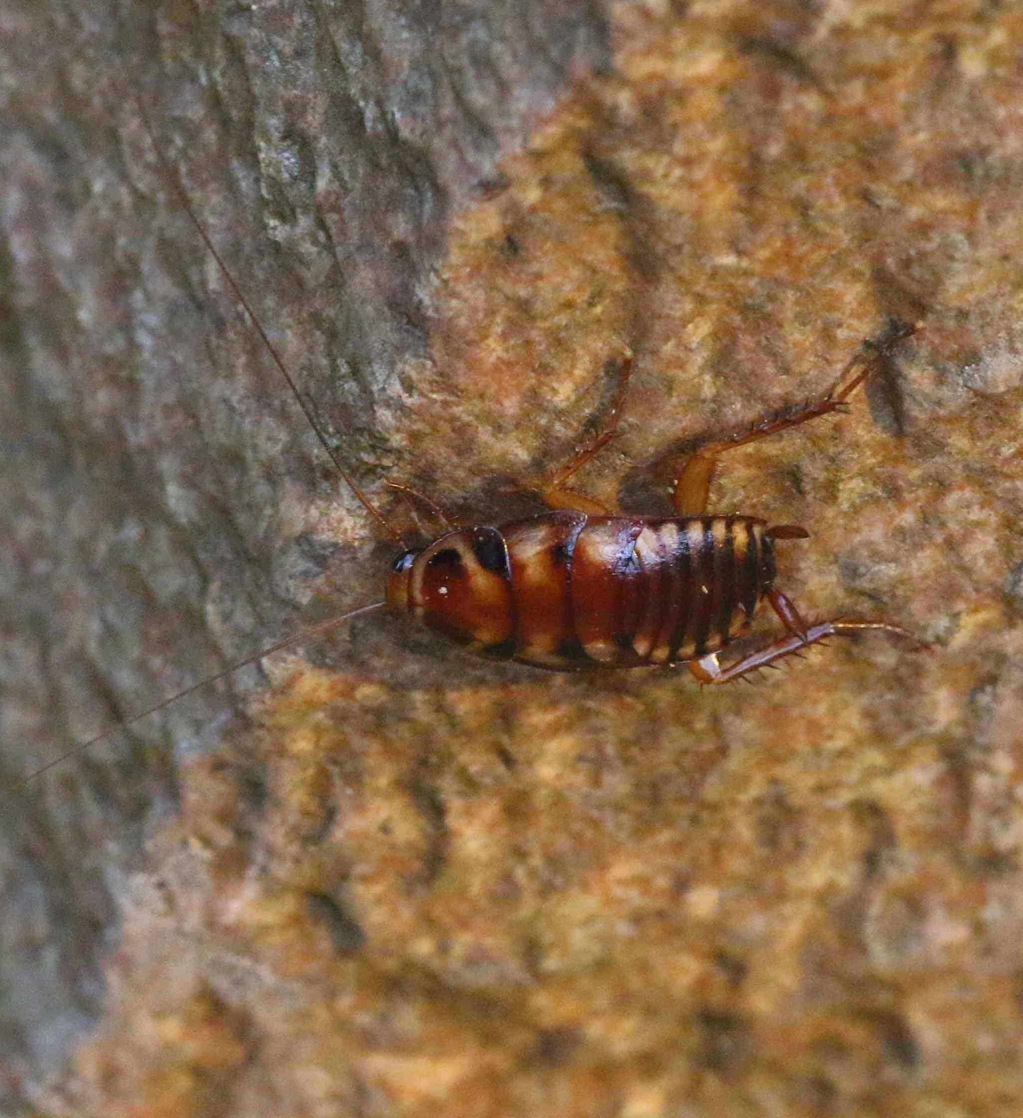 Australsk Kakerlak