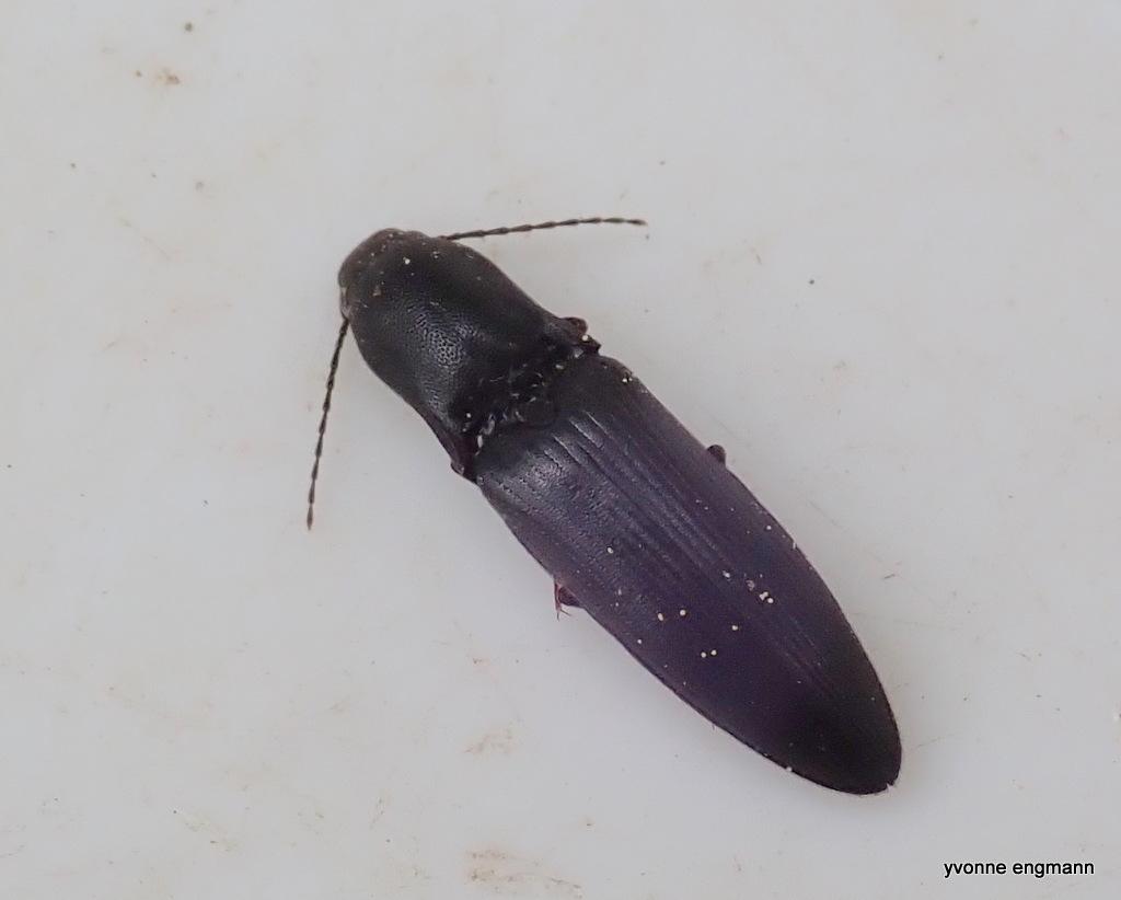 Ectinus aterrimus (Ectinus aterrimus)