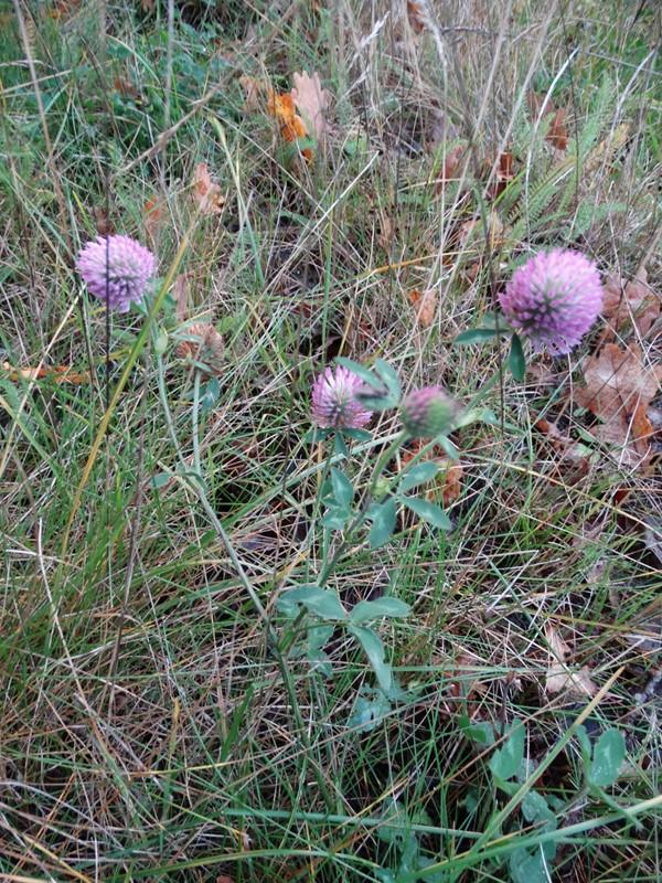 Foto/billede af Rød-Kløver (Trifolium pratense)