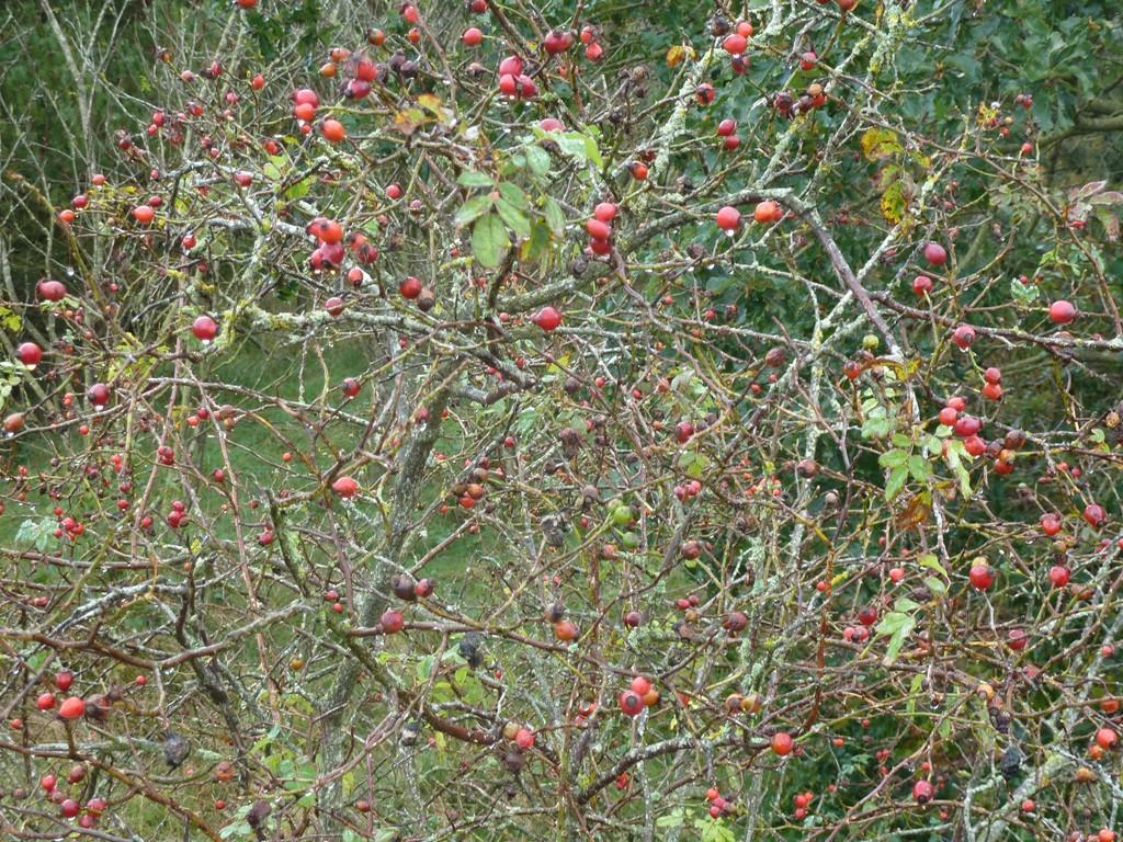 Foto/billede af Glat Hunde-Rose (Rosa canina ssp. canina)
