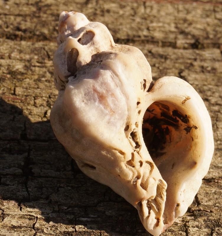 Foto/billede af Japansk Østersboresnegl (Ocinebrellus inornatus)