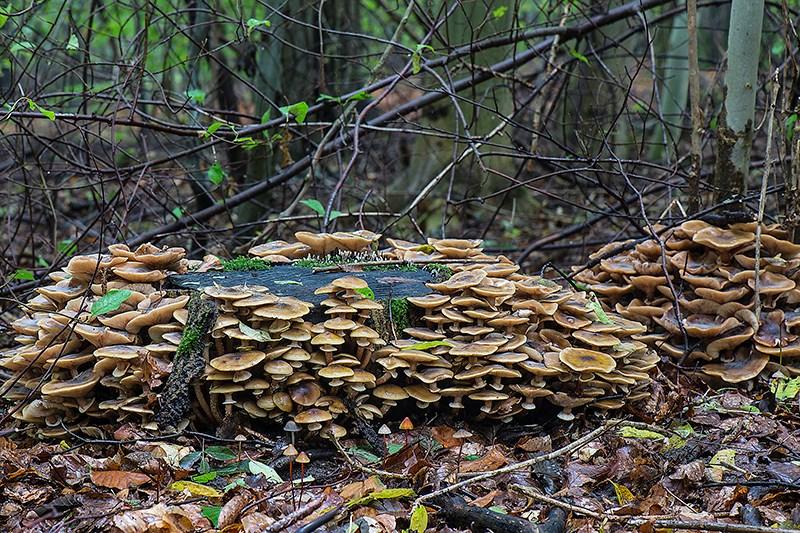 Foto/billede af Ægte Honningsvamp (Armillaria mellea)
